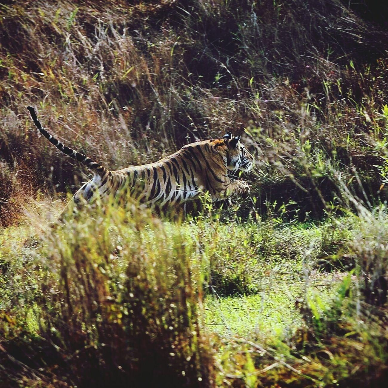 Flying Tiger Bandavgragh Bigcat