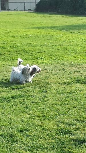 Mimis and me playing Dog Dog Love Dog Photo Dog Photography Dog Picture Dog Pictures Dog Playing DogLove Dogs Dogs Life Dogs Of EyeEm Dogs Playing  Dogslife Dogsofeyeem Dog❤ Domestic Animals Field Grass Grassy Green Green Color Lawn No People Outdoors Pets