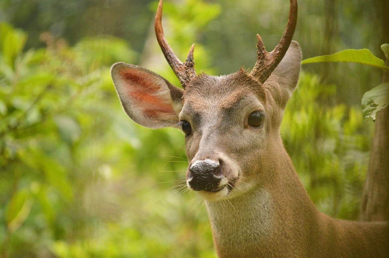 Greenrush Senderodelosanimales Animal Photography Teamnikon Nikonphotography Venado Deer