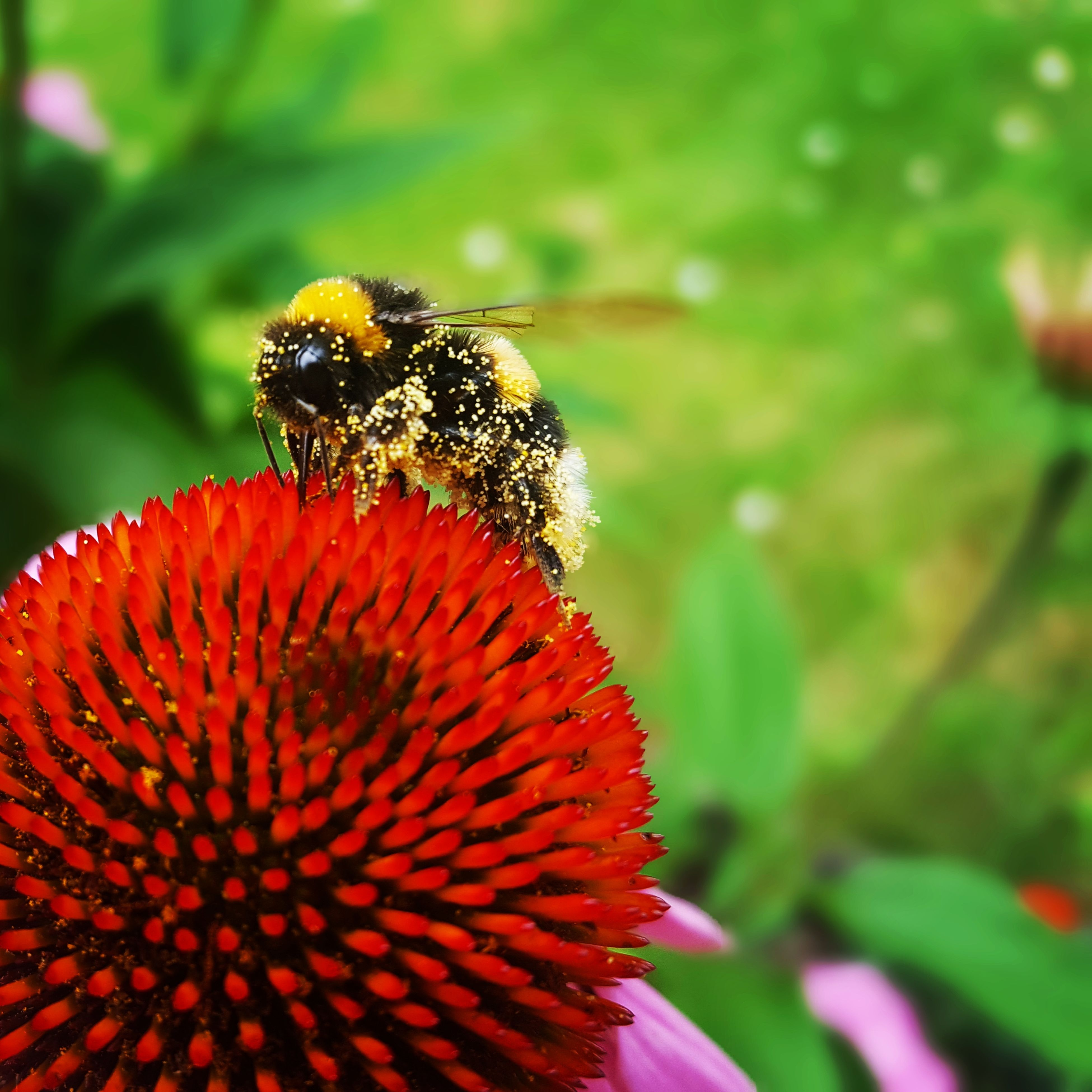 flower, freshness, nature, beauty in nature, fragility, petal, insect, growth, flower head, plant, animal themes, focus on foreground, one animal, no people, animals in the wild, day, outdoors, close-up, red, bee, pollen, pollination, blooming, eastern purple coneflower, zinnia
