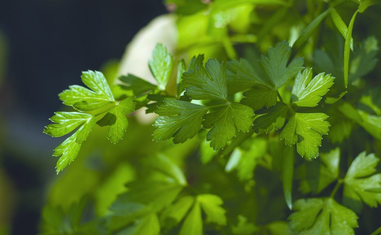Close-Up Of Parsley Growing Outdoors