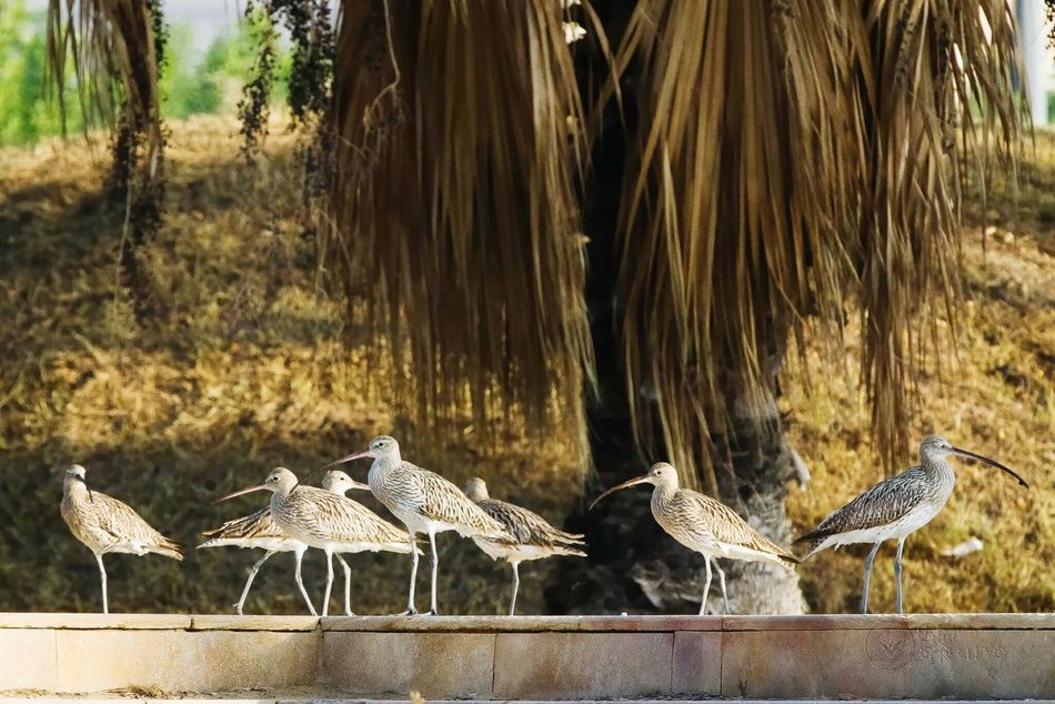 Group hug curlew Bird Animal Themes Outdoors Animals In The Wild KSA Khobar Corniche Curlew shubaily Beauty In Nature Wildlife Migratory Birds