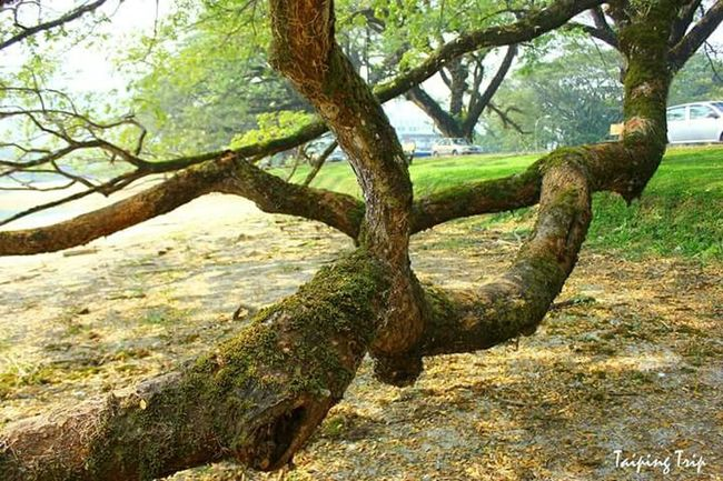 Tasik Taiping how big the tree is. Nature Photography Jasmine's Diary Travel Photography EyeEm Nature Lover