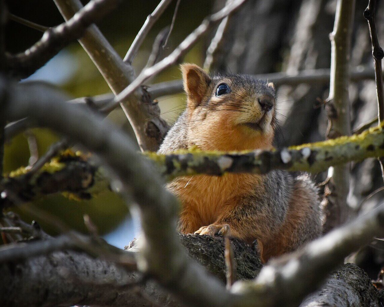 One Animal Animals In The Wild Animal Themes Tree Animal Wildlife Branch Nature Mammal No People Close-up Outdoors Koala Day Squirrel Animal Photography Looking At Camera Animals In The Wild Low Angle View Nature Tree Branches Lookingup Outside Photography Outdoor Photography Tree Trunk