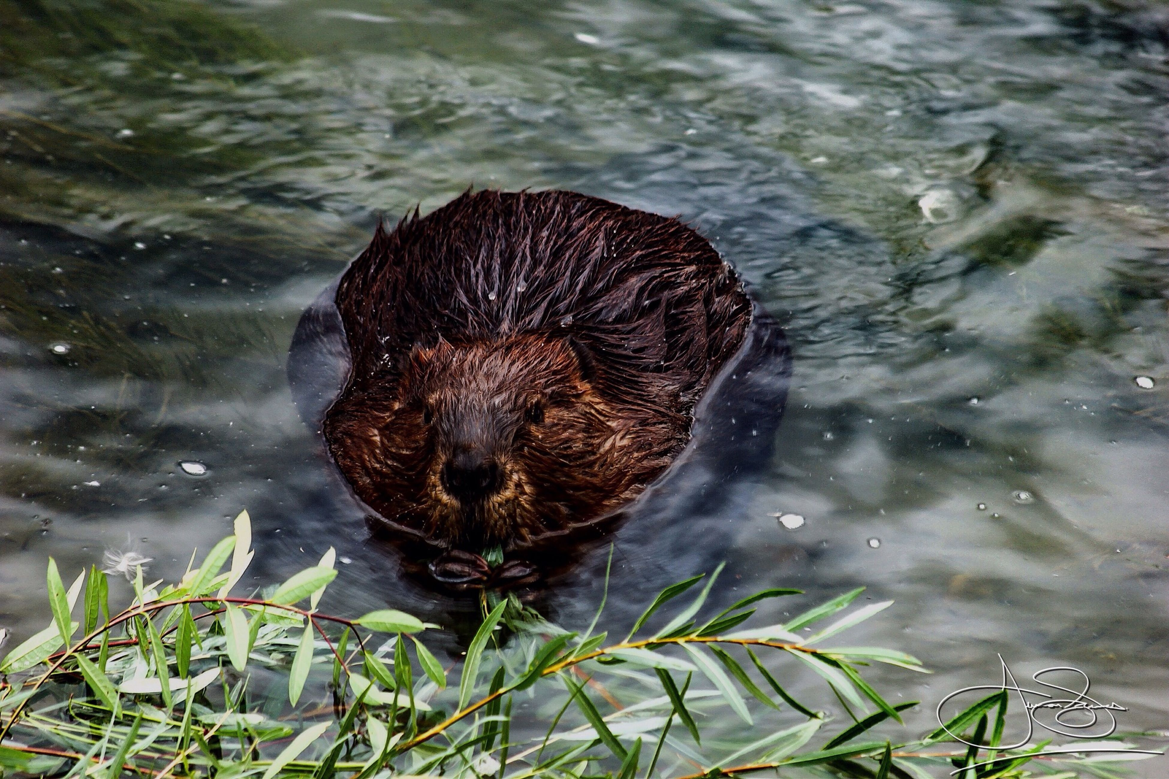 animal themes, one animal, water, animals in the wild, mammal, wildlife, lake, high angle view, wet, reflection, pets, outdoors, day, nature, swimming, dog, close-up, no people, waterfront, domestic animals