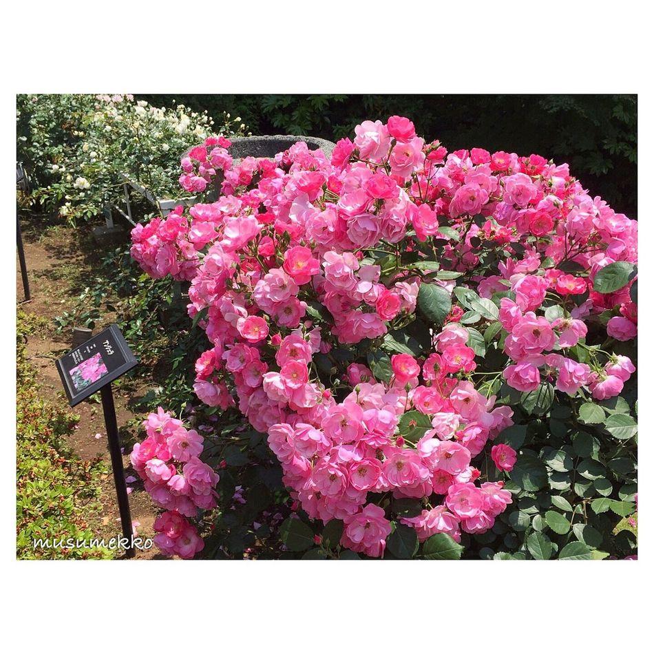 『可愛い』の集合体。 Beautiful Nature IPhoneography Nature_collection Landscape_collection EyeEmNatureLover EyeEm Best Shots - Nature Garden Roses Pink Flower EyeEm Nature Lover バラ 花 ピンク 庭園