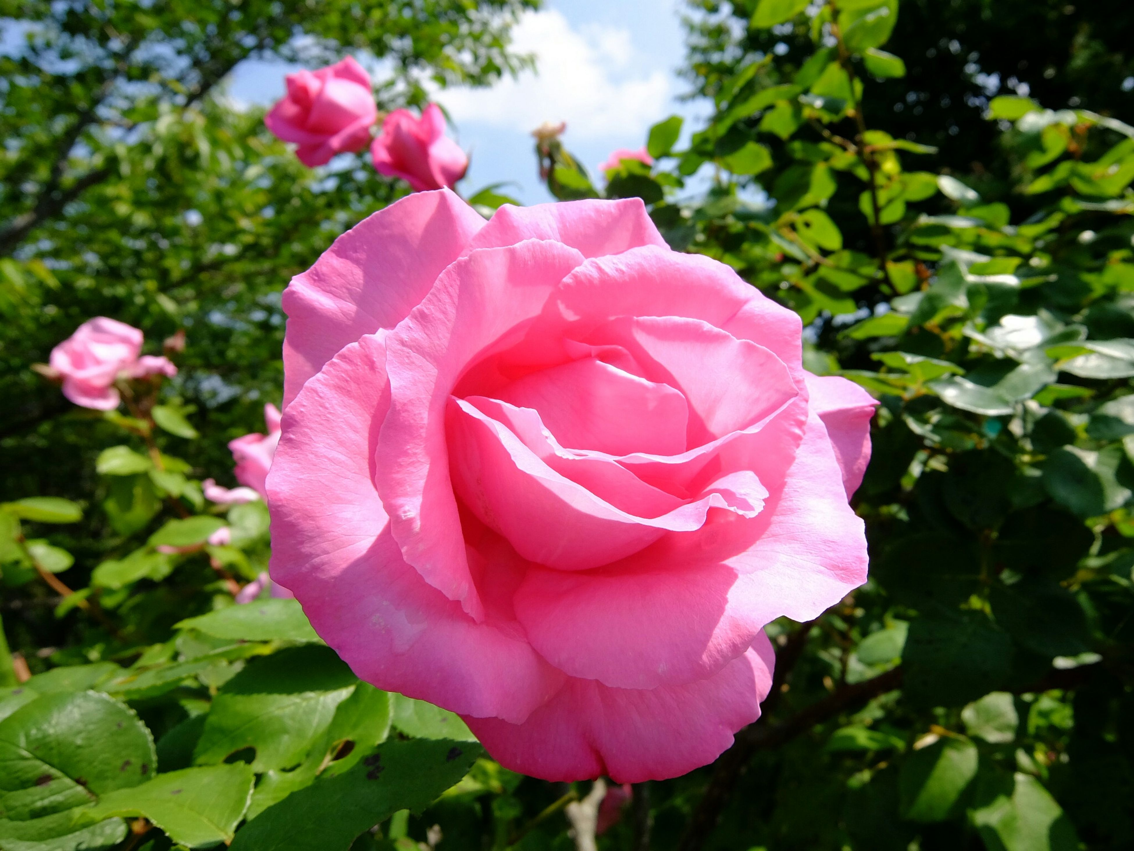 flower, petal, freshness, pink color, fragility, flower head, growth, beauty in nature, rose - flower, close-up, blooming, nature, leaf, focus on foreground, plant, pink, park - man made space, in bloom, day, single flower