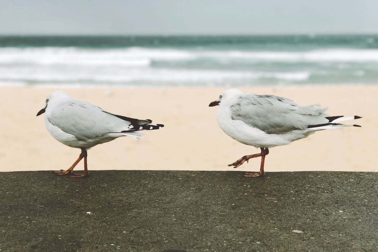 Bird Sea Animals In The Wild Animal Themes Animal Wildlife Focus On Foreground Beach Black-headed Gull Perching Water Seagull Sand Outdoors Day Close-up Horizon Over Water Wave No People Nature