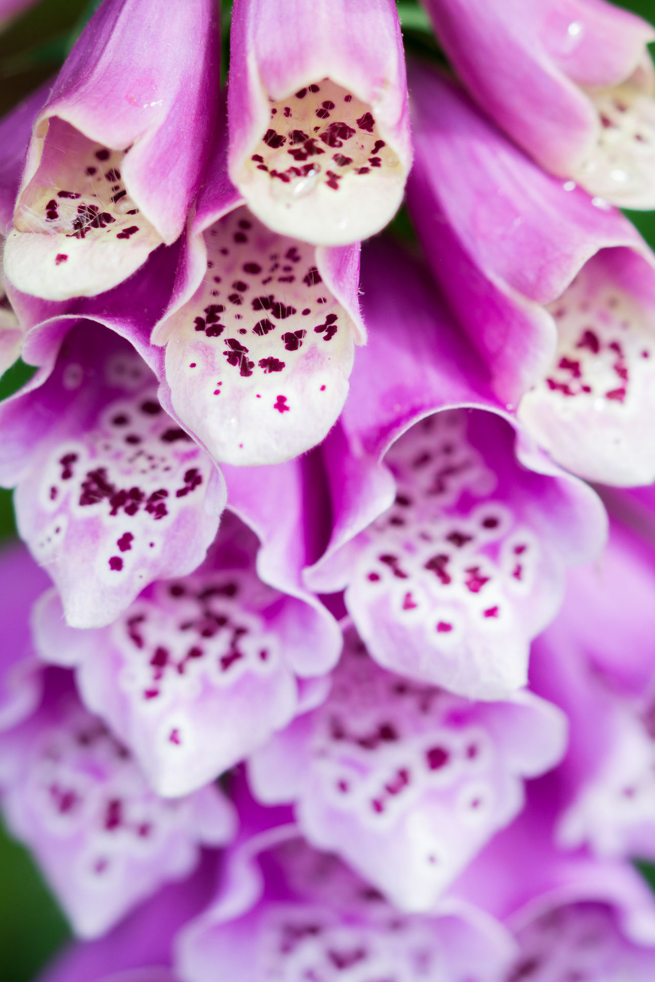 Backgrounds Beauty In Nature Close-up Day Flower Flower Head Foxglove Foxgloves Fragility Freshness Full Frame Nature No People Outdoors Pink Color Plant Purple
