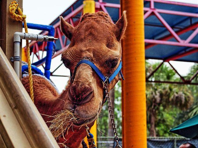 Camel - Metro Zoo - Miami, Florida. Camels We Love Camels! Animals Zoo Animals  Animal_collection Animal Photography Beautiful Animals