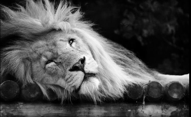 In Honour of Cecil the Lion so needlessly slaughtered! Nature Nature_collection Animals Cat Wildlife Blackandwhite Landscape Popular Photos