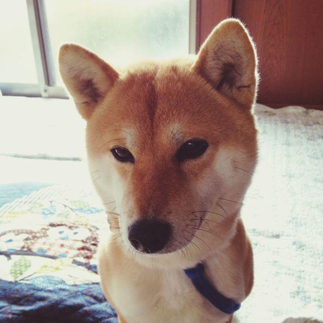 Dog Shiba Inu