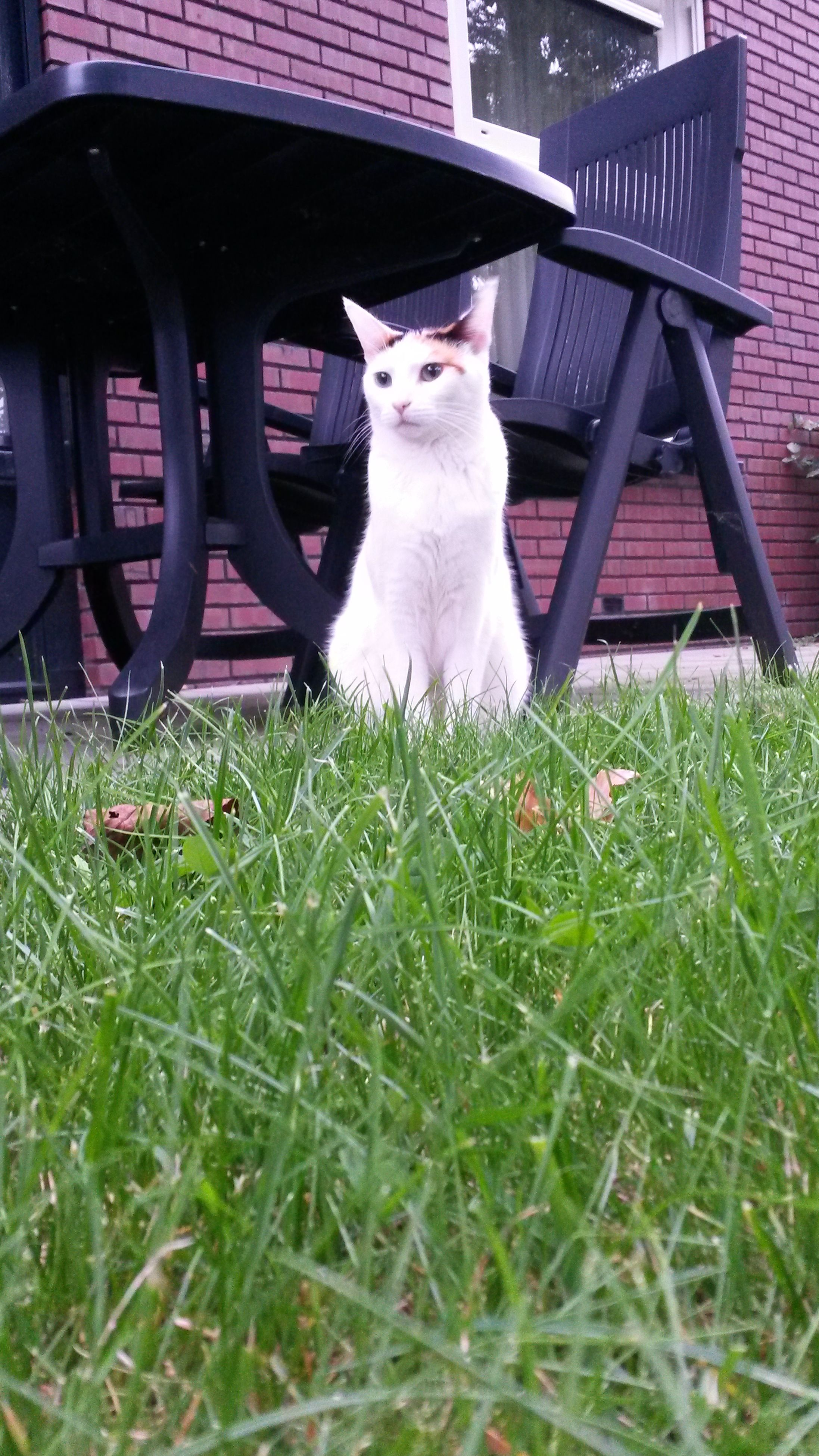 domestic animals, pets, animal themes, mammal, one animal, domestic cat, cat, feline, building exterior, grass, house, relaxation, front or back yard, built structure, architecture, looking at camera, no people, two animals, full length, plant