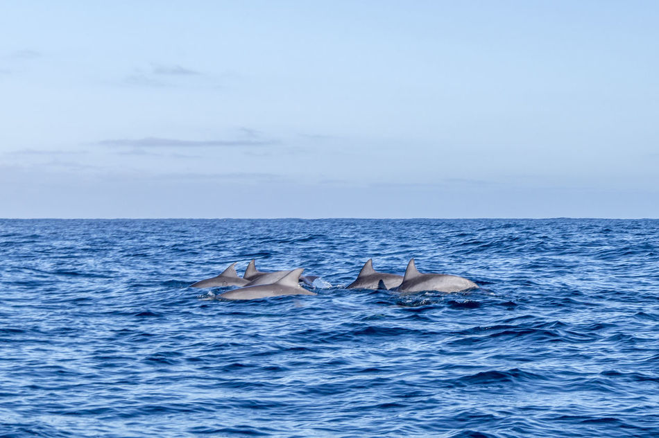 Group of dolphins Blue Water Dolphins Family Fast FIN Flipper Flippers Freedom Greenpeace Grey Group Happiness Happy Intelligent Mammal Nature Ocean Sea Sealife Swim Underwater