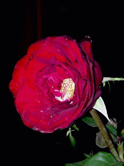 Rose🌹 Beautiful Beautifulrose Nature Photography
