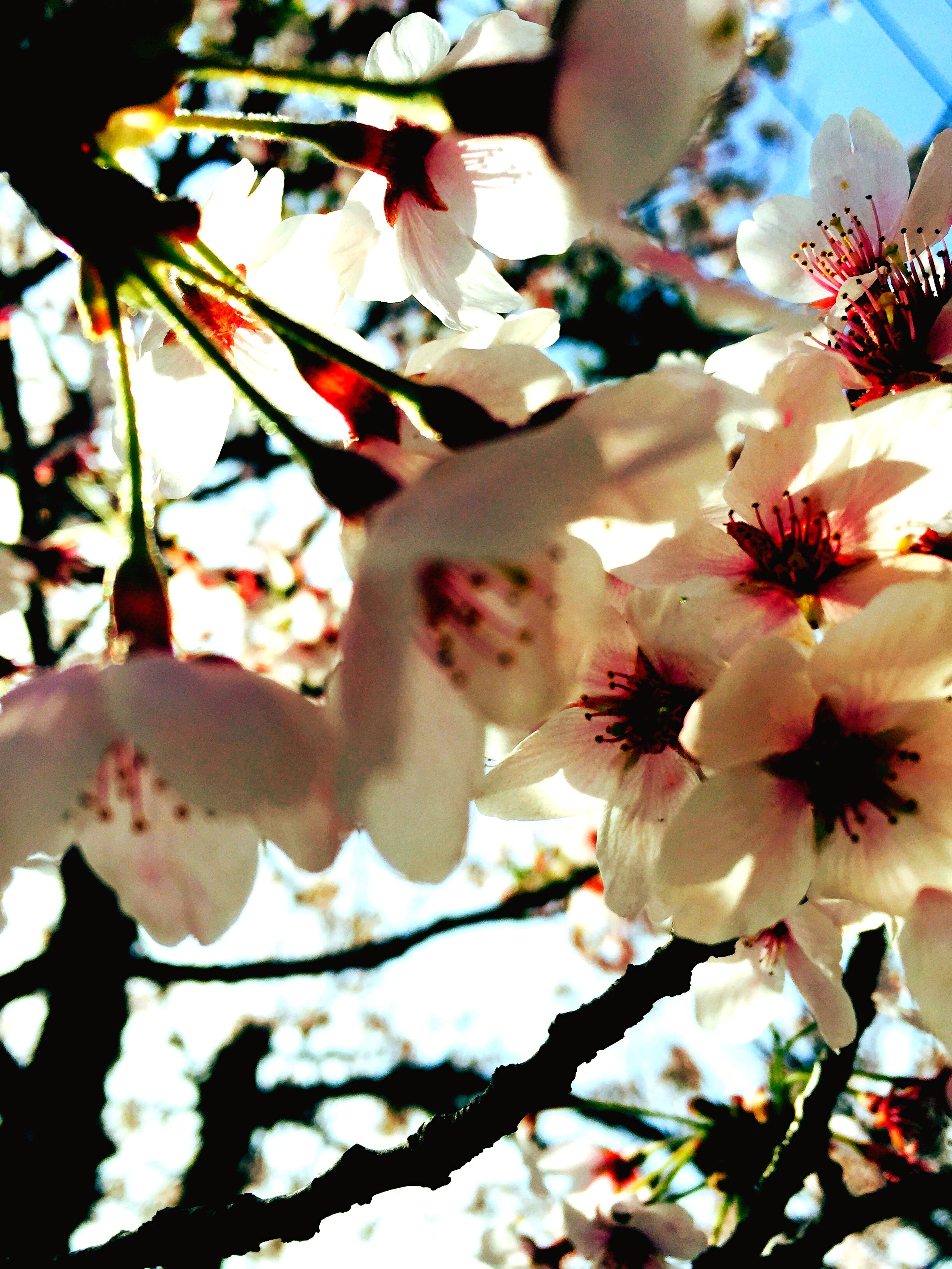 flower, branch, freshness, low angle view, tree, growth, cherry blossom, beauty in nature, fragility, petal, nature, blossom, pink color, cherry tree, close-up, focus on foreground, blooming, day, in bloom, outdoors