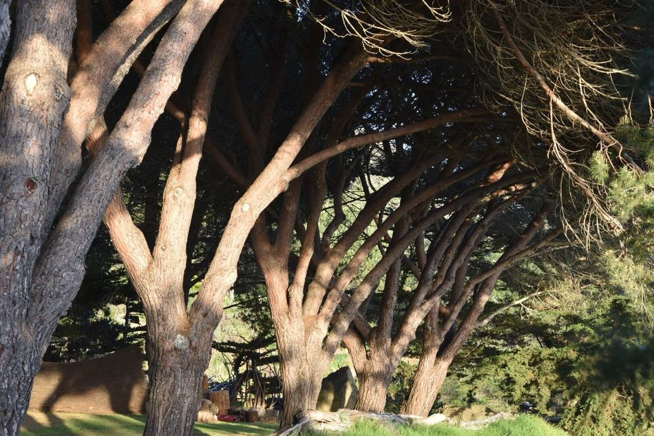 Trees In A Row Beautifulnature Beautiful Landscape Eyeem Nature Lover Big Sur, Ca. Trees In Our Yard Lawns Grass And Trees Log Fence Waiting For The Sunset Tree Trunks Log Fence On the ground so event quests ( weddings , etc. ) don't fall over Clift 😉😜😊 Oceanside Back Home Front Yard Hanging Out Taking Photos Hello World Freehand Landscape #Nature #photography Bamboo Fence 💞 Tree_captures