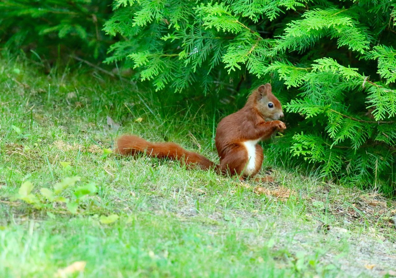 Beautiful stock photos of squirrel, Animal Themes, Animals In The Wild, Beauty In Nature, Brown