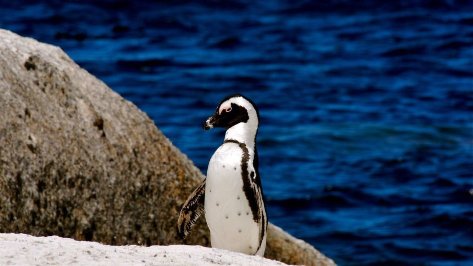 Beautiful stock photos of penguin, Animal Themes, Animals In The Wild, Bird, Blue