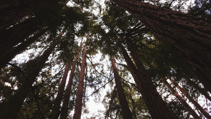 Bliss. Redwood Trees Leafy Skies Bottom Up Forests Outdoors UCSC Santa Cruz Wildlife