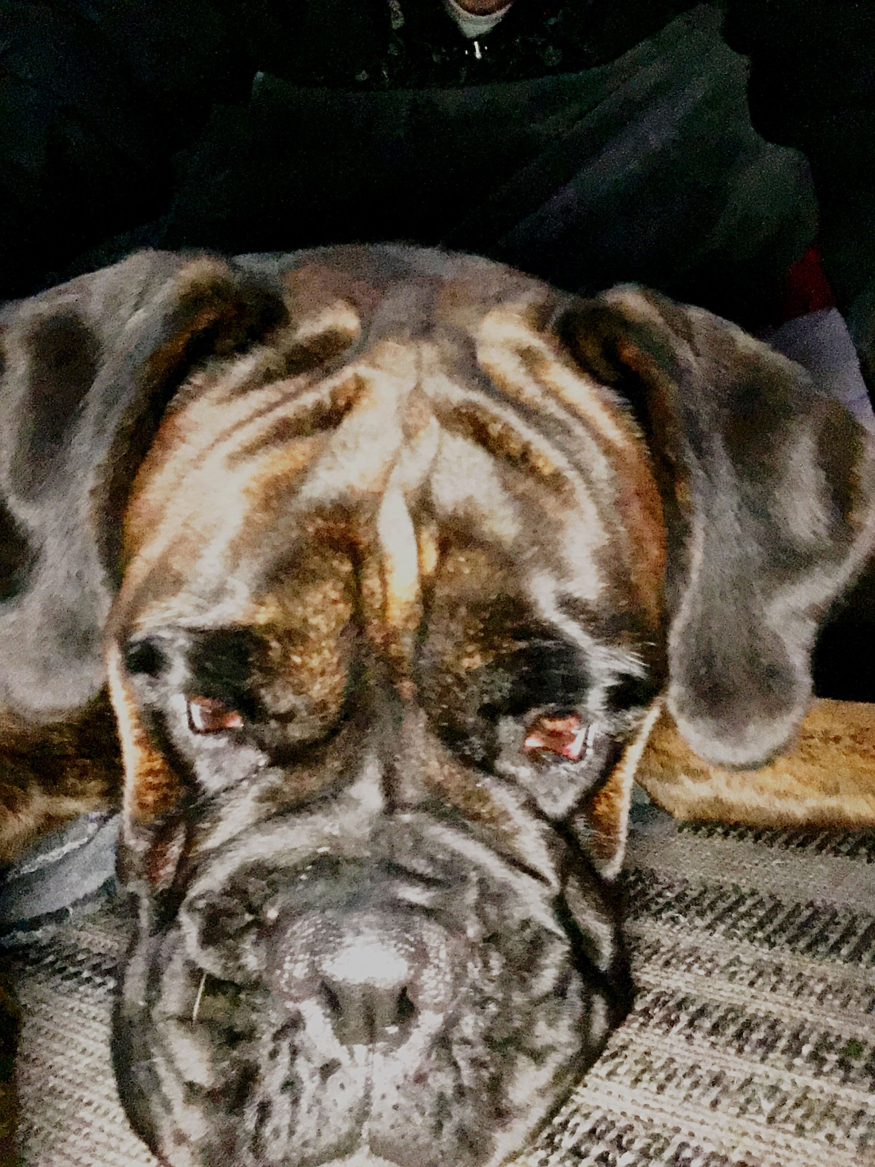 domestic animals, pets, animal themes, mammal, one animal, dog, relaxation, sleeping, indoors, resting, lying down, eyes closed, close-up, animal head, high angle view, comfortable, no people, black color, two animals, sofa