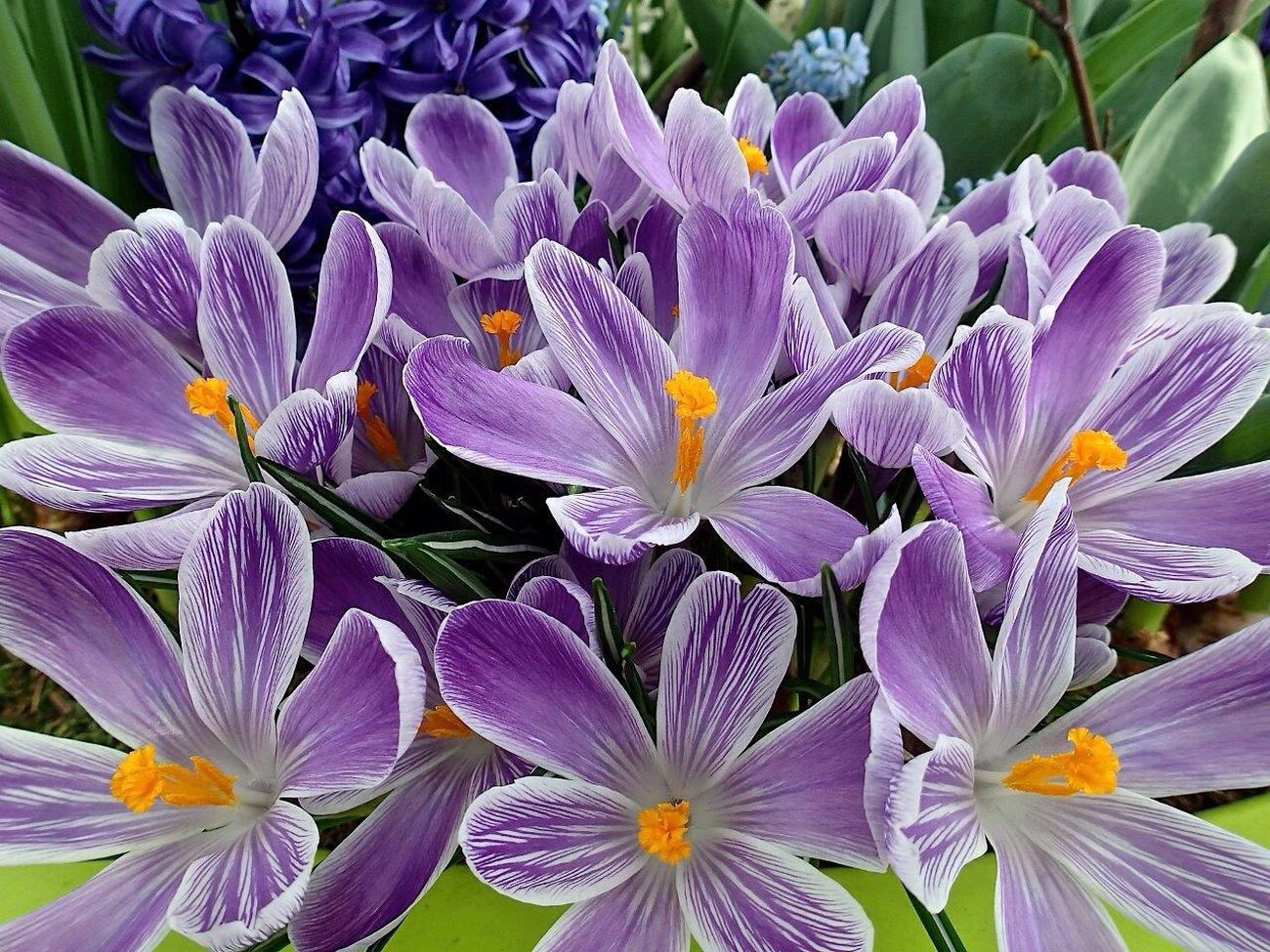 Flowers Flower Tulips🌷 Tulip Tulpen Tulipan Keukenhof Keukenhof Garden Kaukenhof Holand Holandia