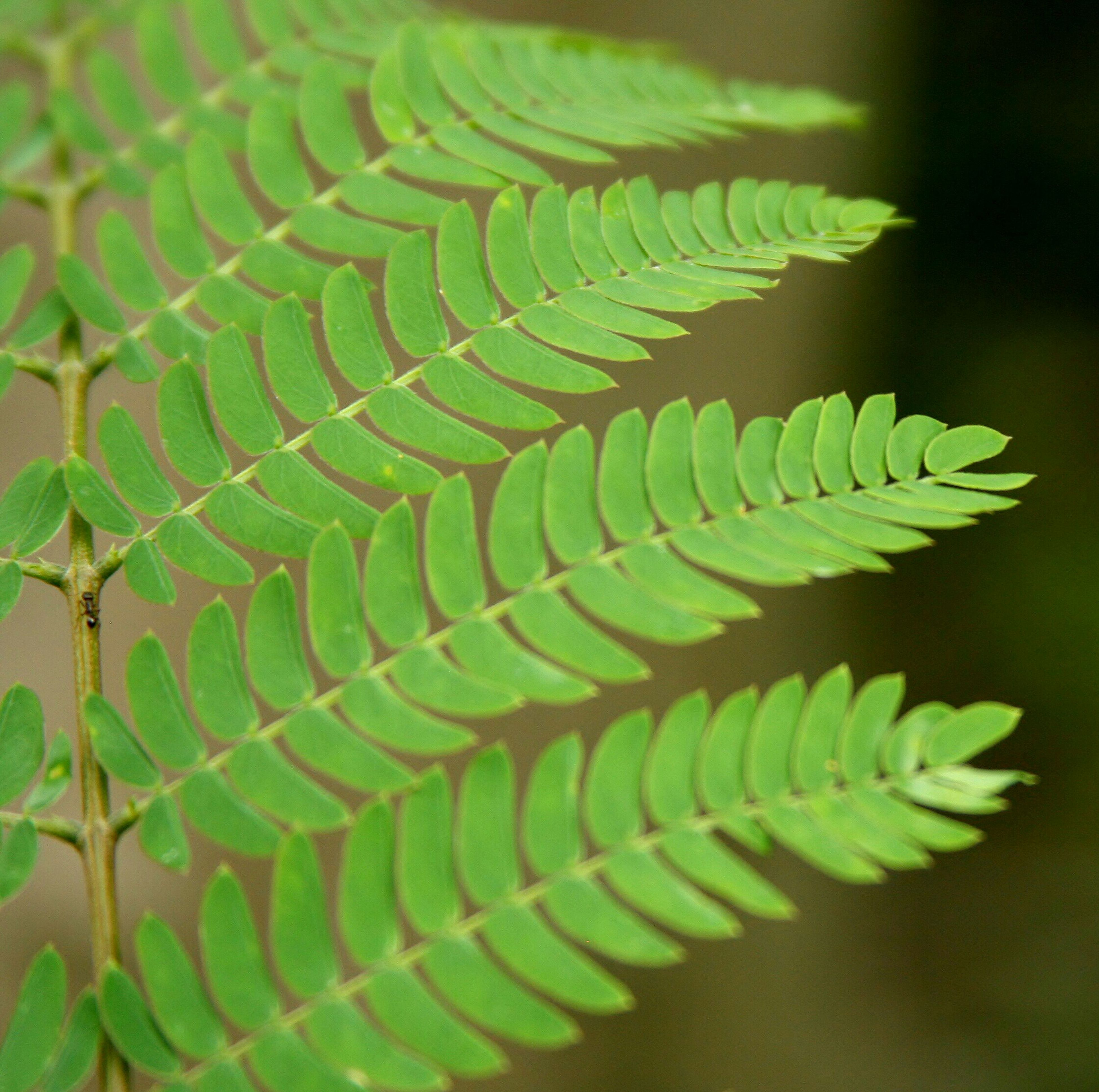green color, leaf, growth, close-up, fern, nature, plant, natural pattern, pattern, focus on foreground, leaf vein, beauty in nature, selective focus, outdoors, day, no people, tranquility, green, leaves, sharp