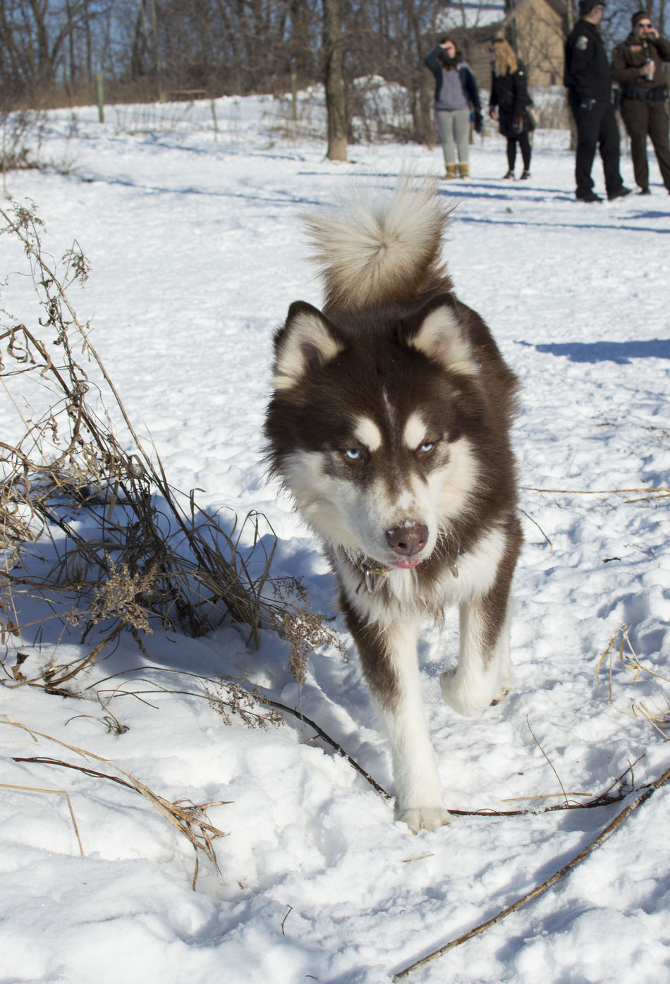 Animal Themes BlueEyes Cold Temperature Dog Dogs Frozen Husky Looking At Camera Minnesota Minnesota Nature Mn Nature One Animal Outdoors Pets Portrait Siberian Husky Siberian Husky Sled Dog Snow Weather White Color Winter