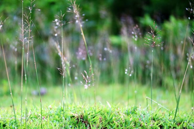 morning dew: morning after Beauty In Nature Close-up Day Dew Drop Field Focus On Foreground Fragility Freshness Grass Grass Area Grassy Green Color Growing Growth Nature Outdoors Selective Focus Springtime Stem Tranquility Water