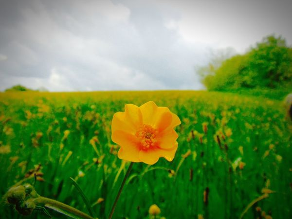 Buttercup Flowers Nature