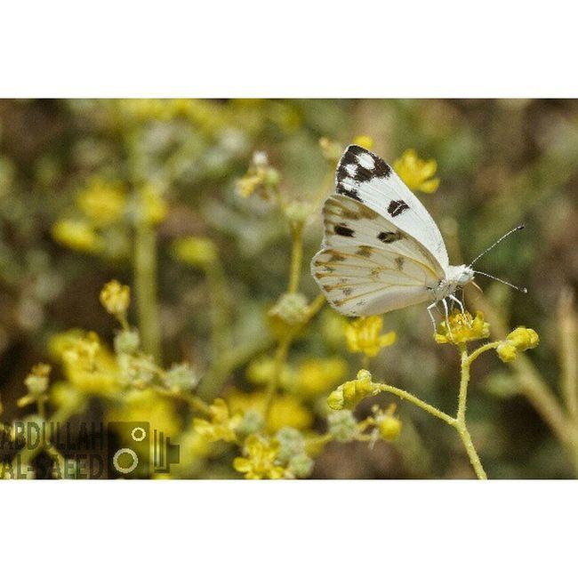 صورة فراشة في فيضة الصريف في القصيم بعدستي حشرة تصويري تركيز التصوير مصورين حشرات مكشات كاميرا سوني الفا57 زوم 300