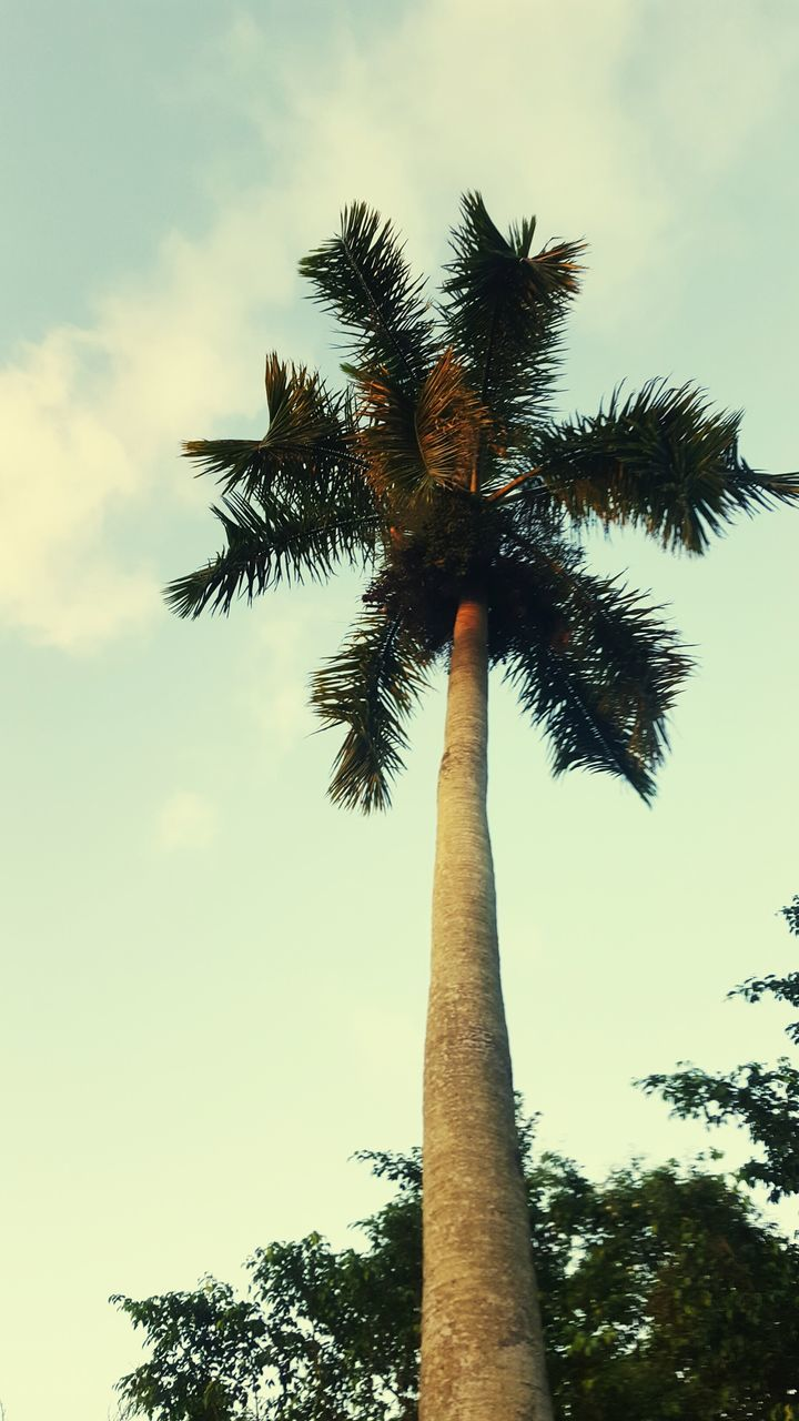 tree, palm tree, low angle view, sky, tree trunk, growth, outdoors, cloud - sky, nature, scenics, beauty in nature, tranquility, day, no people
