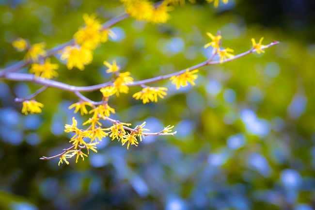 Flower Beautiful アテツマンサク Hello World Cheese! Relaxing Enjoying Life Taking Photos Hi!