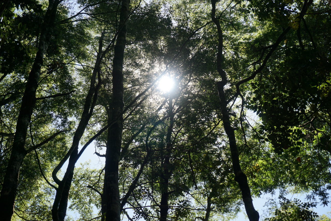 Nature Tree Growth Low Angle View Beauty In Nature Sunlight No People Sun Tranquility Sunbeam Outdoors Backgrounds Scenics Sky Day Lush Foliage Forest Power In Nature Refraction Non-urban Scene Chile Calm Idyllic Tourism Beauty In Nature