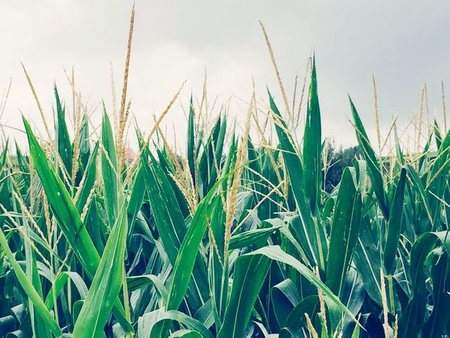 Fresh PoP Corn Growth Field Nature Green Color Grass Plant Day Agriculture No People Outdoors Close-up Beauty In Nature Cereal Plant Freshness Sky