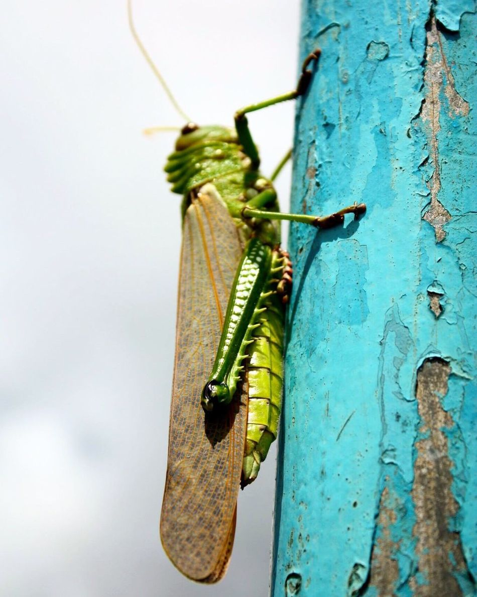 Animals In The Wild Animal Themes Insect Animal Wildlife One Animal Focus On Foreground Close-up Nature Day Green Color No People Outdoors Leaf Grasshopper Beauty In Nature Perching Brazil Salvador Bahia