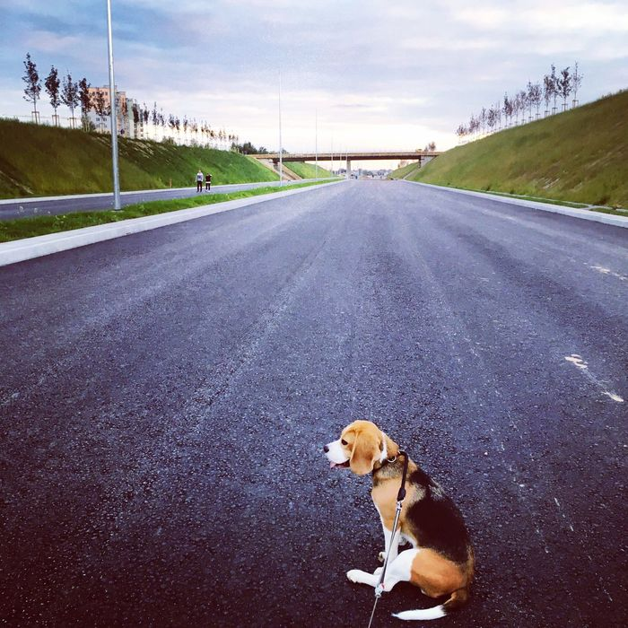 Tired Pets Dog Domestic Animals Animal Themes One Animal Sky Road Day Outdoors No People Mammal Pet Beagle Way Urban Empty Road Street Empty Street One Dog Sitting Tired Beagles  Straight Forward Forward Horizon Adapted To The City