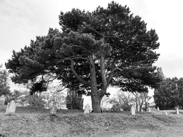 Graveyard Tree Gravestone Salem Massachusetts B&w Halloween