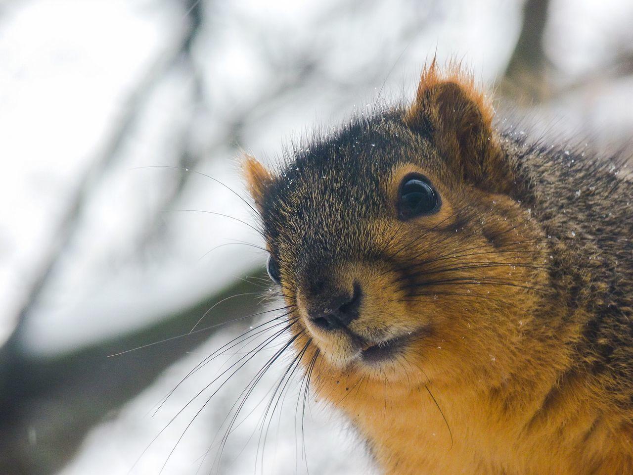 Squirrel Winter Animal Nature Wildlife