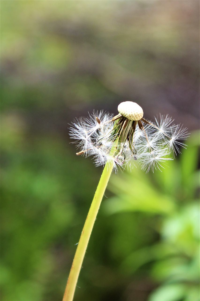 flower, growth, nature, fragility, dandelion, plant, focus on foreground, beauty in nature, close-up, day, outdoors, freshness, no people, flower head, grass