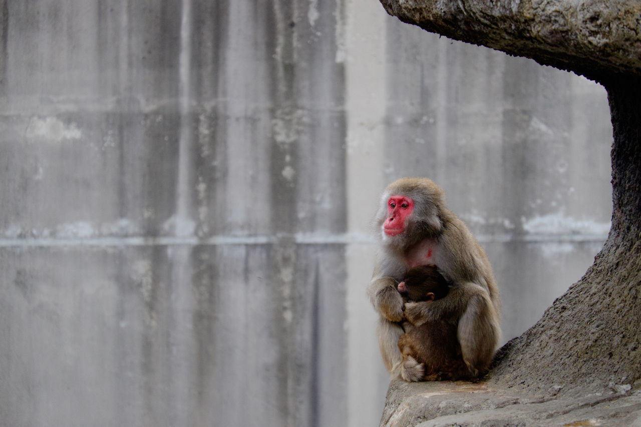 Japanese Macaques Relaxing On Rock