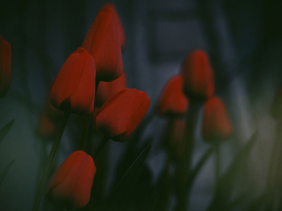 Red Outdoors Day Nature Close-up People Adult Photography Photo Like4l Followtofollowback Like Followback Followme Like4like Photooftheday Flower Head No People Springtime Beauty In Nature Nature Flower Plant Dark