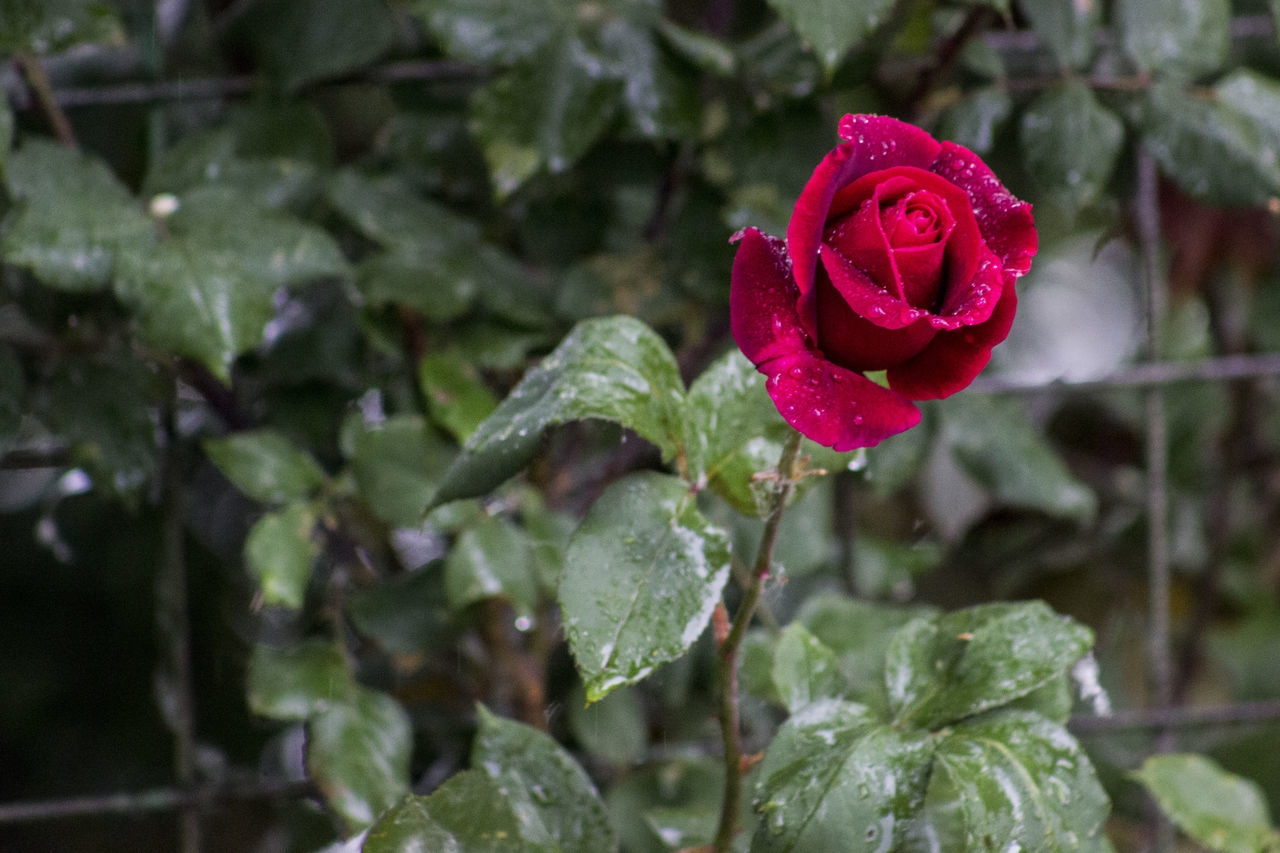Beauty In Nature Blooming Close-up Day Drop Flower Flower Head Focus On Foreground Fragility Freshness Growth Leaf Nature No People Outdoors Petal Plant RainDrop Red Rose - Flower Water Wet After Rain Red Rose