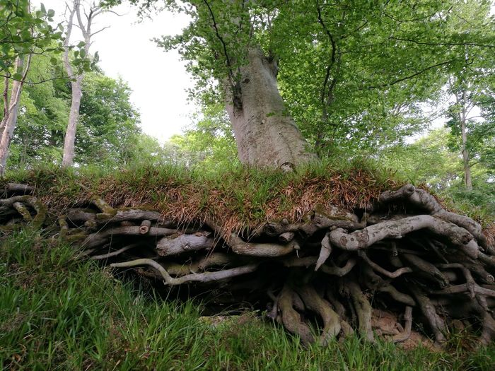 Tree Nature Outdoors Beauty In Nature Roots Exposed Roots No People Wood