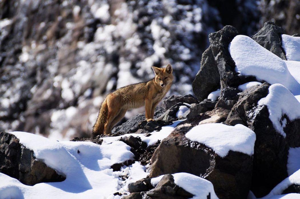 Cajon Del Maipo Embalse Del Yeso Chile Animal Themes Zorro