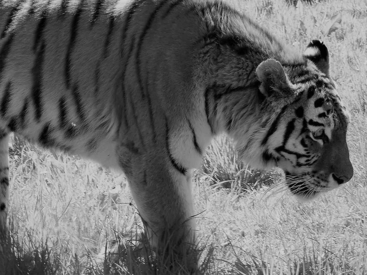 animals in the wild, one animal, animal themes, animal wildlife, grass, mammal, field, outdoors, tiger, day, no people, nature, white tiger, safari animals, close-up