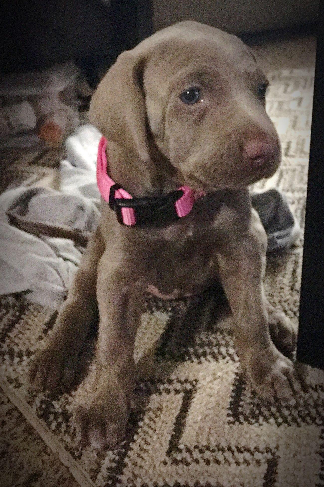 Pets Dog Puppy Weinhemer Puppy Dogs Weinheimer Animal Love Lovemydogs LoveMyPuppy Her Named Her August
