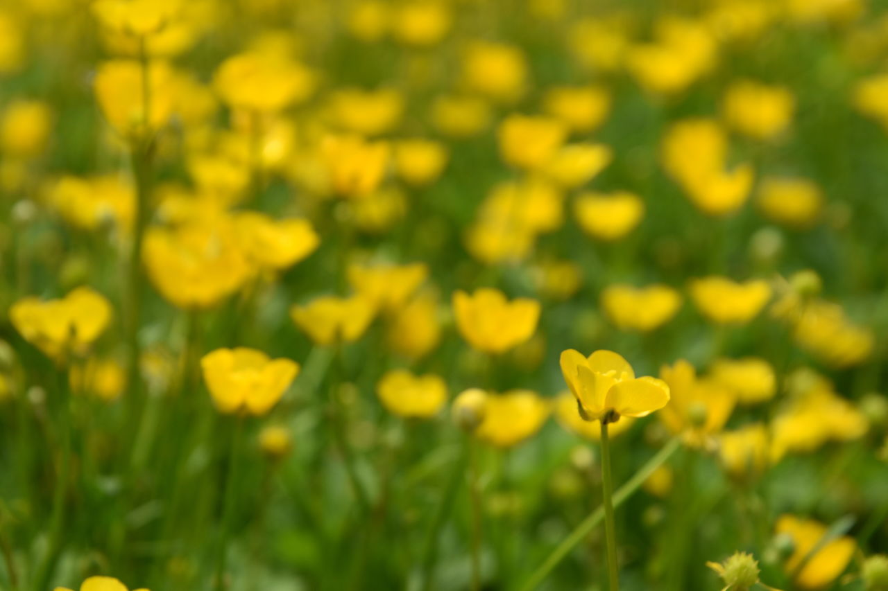 Beauty In Nature Blooming Blossom EyeEm Best Shots EyeEm Gallery Field Flower Flower Head Fragility Freshness Green Growth Ladyphotographerofthemonth Marsh Marigold Nature No People Outdoors Petal Plant Springtime Taking Photos Tranquil Scene Tranquility Yellow Yellow Flower