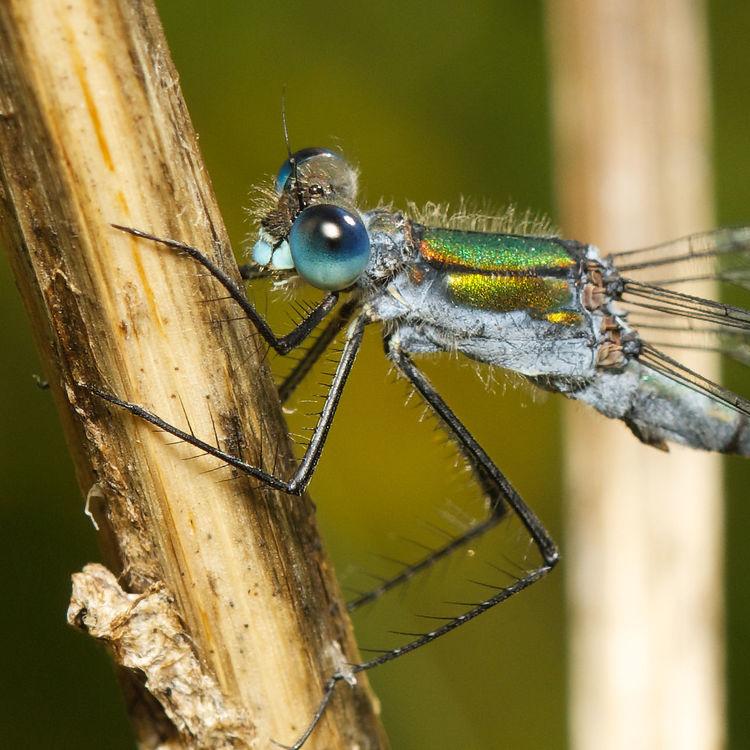 Dragonfly Sigma105mm øyenstikker Sonya77 EyeEm Nature Lover Macro Insects Sonyphotography Eyeem Insects