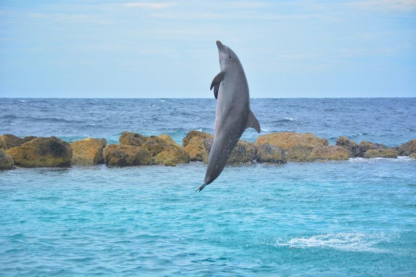 Dolphin Sea Water Animal Themes One Animal Waterfront Curacao Caribbean Dolphin Jumping Dolphin Fun